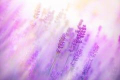 Nebel auf dem Gebiet des Lavendels Stockfotografie