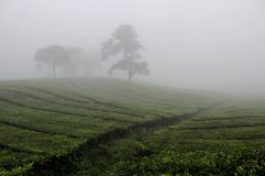 Nebel auf dem Sukawana-Tee-Gebiet Lizenzfreies Stockfoto