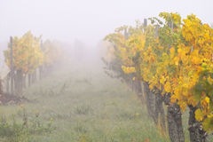Nebel in den wineyards Stockfoto