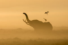 Nebel des afrikanischen Elefanten morgens bei Sonnenaufgang in Amboseli, Ken Stockbild