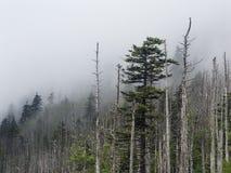 Nebel, Kiefern und Baumstümpfe in den großen rauchigen Bergen NP Stockbilder