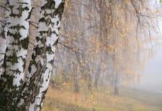 Nebelhafte Birkenwaldung Stockfoto