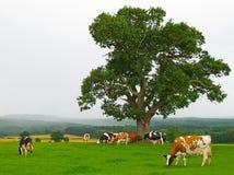 Nebelhafte Kühe Lizenzfreie Stockbilder