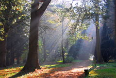 Nebelhafte Waldsun-Strahlen Stockfotos