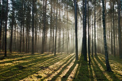 Nebelhafter alter nebeliger Wald Stockfotografie