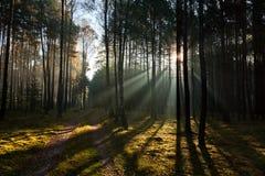 Nebelhafter alter nebeliger Wald Stockfotos
