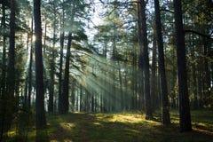 Nebelhafter alter nebeliger Wald am Sonnenaufgang Stockbilder