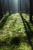 Nebelhafter alter Wald Lizenzfreie Stockfotografie