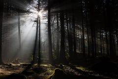 Nebelhafter dunkler Wald Lizenzfreie Stockfotografie