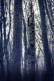 Nebelhafter, ehrfürchtiger Wald, viele Bäume Stockbilder