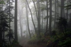 Nebelhafter Fichtebuchenwald Lizenzfreies Stockbild