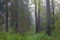 Nebelhafter herbstlicher Morgen und natürlicher Erlewald Lizenzfreies Stockbild