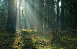 Nebelhafter Koniferenstandplatz des Bialowieza Waldes stockfotografie