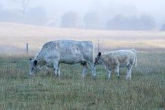 Nebelhafter Morgen als Kühe lassen weiden Stockbilder