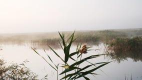 Nebelhafter Morgen auf dem See, überwältigt mit Schilfen stock video