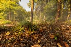 Nebelhafter Morgen im Wald Stockbilder