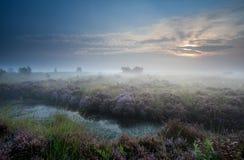 Nebelhafter Sonnenaufgang über Sumpf mit blühender Heide Stockfotos