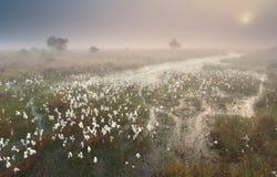 Nebelhafter Sonnenaufgang über Sumpf mit Wollgras Stockfotos