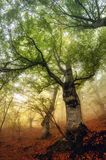 Nebelhafter Tag in einem alten Kastanienwald der Jahrhunderte lizenzfreie stockbilder