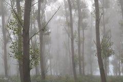 Nebelhafter Tag in einem Pappelholz Lizenzfreie Stockfotografie