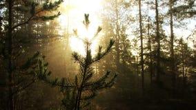 Nebelhafter Wald stock video footage