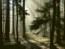 Nebelhafter Wald mit Sonnestrahlen des frühen Morgens Stockfotos
