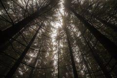 Nebelhafter Wald nach Regen Stockfotografie