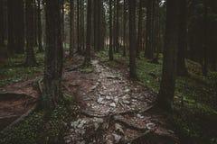 Nebelhafter Wald und viele vertikalen Bäume am Abend beleuchten Lizenzfreie Stockfotos