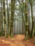 Nebelhafter Weg durch Rothölzer stockbild