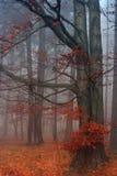 Nebelhaftes Buchenholz Stockbild