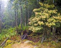 Nebelhaftes Holz Stockfotos