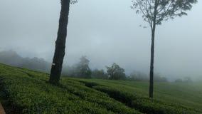 Nebelige Teeplantage stockfoto