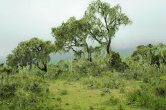 Nebeliger Gebirgsregenwald Tansania Stockbild