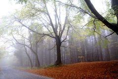 Nebeliger Herbst-Wald Stockfotografie