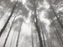 Nebeliger Kieferwald mit dem Strömen des Lichtes stockbilder