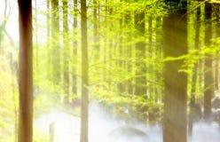 Nebeliger Metasequoiawald Stockbild