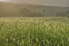 Nebeliger Morgen auf einem Weizengebiet stockfotografie