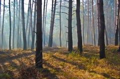 Nebeliger Morgen in einem Kiefernwald lizenzfreie stockfotografie