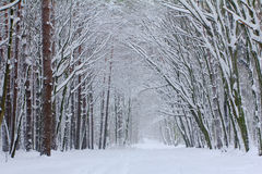 Nebeliger Morgen im Winterholz Lizenzfreie Stockfotos