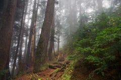 Nebeliger Schuss im Wald des Bergs Seymour, Britisch-Columbia, Kanada stockfotos