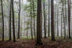 Nebeliger Sommer Forrest Stockbilder