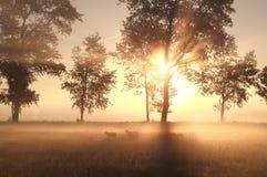 Nebeliger Sonnenaufgang auf Weide mit Schafen Stockfotos