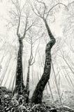 Nebeliger Wald mit gruseligen Bäumen in Schwarzweiss Lizenzfreies Stockbild