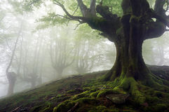Nebeliger Wald mit mysteriösen Bäumen lizenzfreies stockfoto