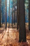 Nebeliges Holz. stockbild