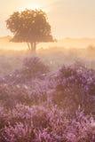 Nebeln Sie über blühender Heide nahe Hilversum, die Niederlande an der Sonne ein Stockfoto