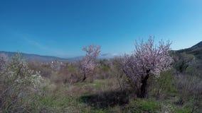 Nebeln Sie über blühendes Mandelbäumen, in einem Gebirgstal ein stock footage