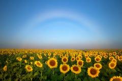 Nebeln Sie Bogenformen über den Sonnenblumenfeldern entlang der Colorado-vorderen Reihe ein stockbilder