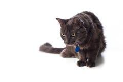 灰色Nebelung猫偷偷靠近 库存图片