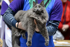 Nebelung cat Stock Images